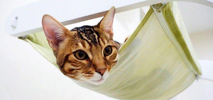 Скидка до 50% на посещение котейни с живыми бенгальскими котами и чаузи «Cat House»